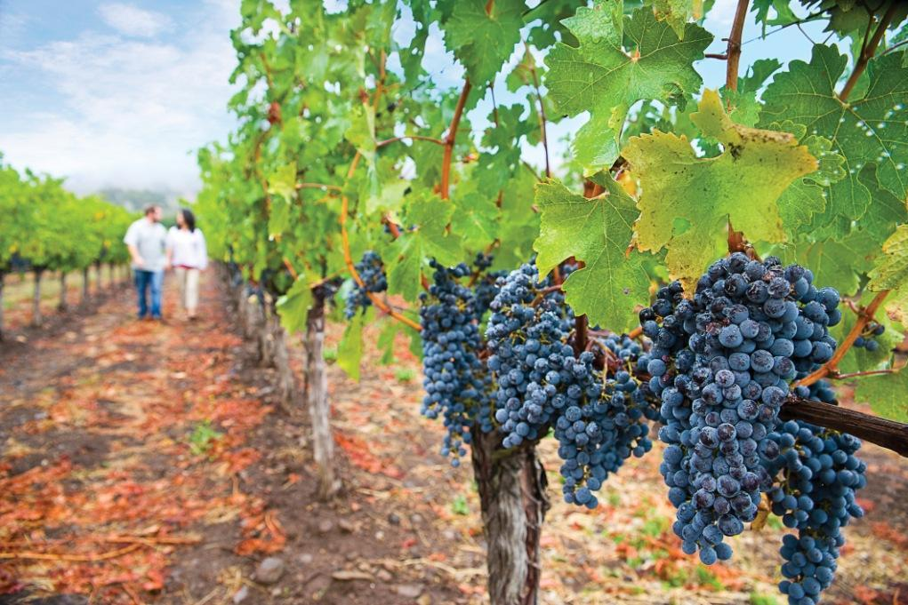 Image of grapes on vine